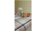 Picture of Bichon Frise Male Puppy