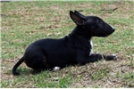Picture of Black brindle show quality miniature bull terrier