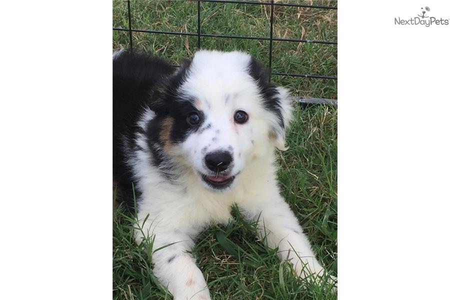shepherd puppy for sale near oklahoma city oklahoma