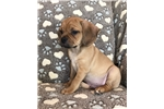 Picture of Beautiful Fawn Puggle, Milo