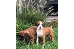Boxer for sale