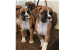 Picture of AKC Champion Bloodlines
