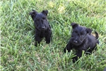 Picture of AKC BEAUTIES