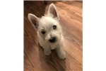 Picture of AKC REGISTERED WESTIE PUP- FEMALE