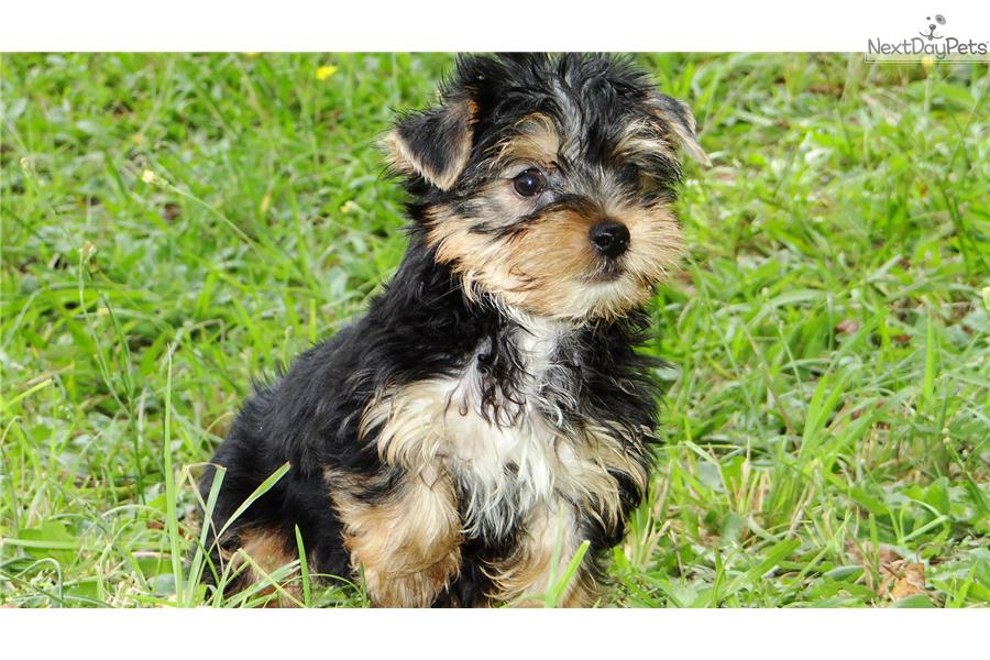 teacup yorkie puppies for sale in georgia dog breeds picture