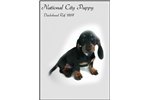 Picture of Dachshund puppy for Sale!