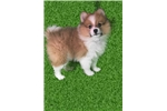 Picture of Pom puppy for Sale!