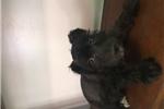 Picture of Schnuazer puppy for Sale!