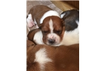 Picture of AKC Basset Hound for sale