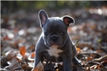 Picture of Blue French Bulldog Puppy