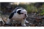 Picture of Black Tri Bulldog Puppy