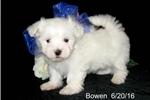 Picture of AKC******Little Bowen*************