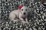 Picture of Teacup Chloe! Pomchi - Oklahoma