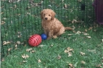 Picture of Dibbs~Smart, Playful, Non Shedding Mini Whoodle