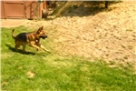 Picture of HUNTER~AKC German Shepherd Puppy, Pet & Protection