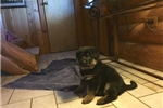 Picture of RUGER~AKC German Shepherd Puppy, PET & PROTECTION