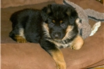 Picture of Sugar Bear~ AKC Family Pet & Protection