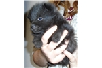 Picture of Marius, male Schipperke Pup for Sale