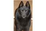 Picture of Max, male Schipperke Pup for Sale