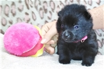 Picture of Questa, Female Schipperke Pup for Sale