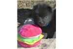 Quin, male schipperke for sale | Puppy at 5 weeks of age for sale