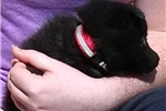 Picture of Zorro, Male Schipperke Pup for Sale San Diego,CA