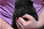 Picture of Monty, Male Schipperke Pup for Sale San Diego, CA