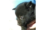 Picture of Dash, Male Schipperke Pup for Sale San Diego, CA