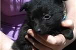 Picture of Loki, Male Schipperke Pup for Sale San Diego, CA