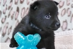 Paul  Male Schipperke Pup for Sale  | Puppy at 6 weeks of age for sale