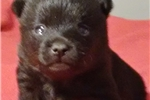 Picture of Oden Male Schipperke Pup for Sale