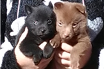Picture of Tiffany, Female Schipperke Pup for Sale