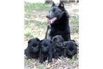 Picture of Female Schipperke Puppy for Sale in San Diego, CA
