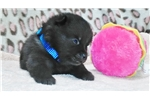 Picture of Pai,  Male Schipperke Pup for Sale
