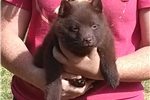 Picture of Nate, Rare Chocolate Schipperke puppy for sale
