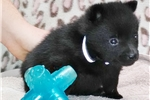 Picture of Pecos,  Male Schipperke Pup for Sale