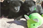 Picture of Quin, male schipperke for sale