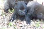Picture of Pai, Male Schipperke Pup for Sale San Diego, CA
