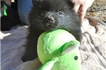 Quill, male schipperke for sale | Puppy at 5 weeks of age for sale