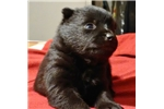 Picture of Odila, Female Schipperke Pup for Sale