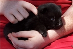 Picture of Male Schipperke Puppy for Sale in San Diego, CA
