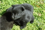 Picture of Lani, Female Schipperke Pup for Sale