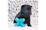 Picture of Paul  Male Schipperke Pup for Sale