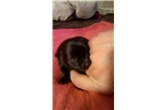 Picture of  Schipperke Puppy for Sale in San Diego, CA