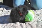 Picture of Quill, male schipperke for sale