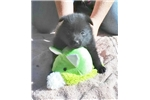 Picture of Quimby, male schipperke for sale