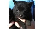 Picture of Tip, Male Schipperke Pup for Sale San Diego, CA