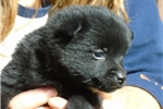 Picture of Lance, male Schipperke Pup for Sale