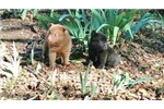 Picture of Kota, Rare Male Chocolate Schipperke Pup for Sale