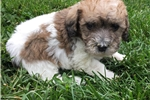Picture of mini bernadoodle puppy  male